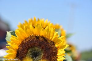 Sunflower_Prince_Edward_County-10 (1)-c0.jpg